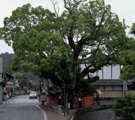 The sacred tree along the Shake Street in Kyoto